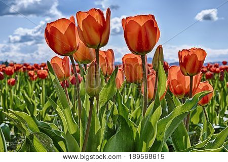 Red tulips are backlit by the sun on a farm in Washington State during the annual Skagit Valley tulip festival.