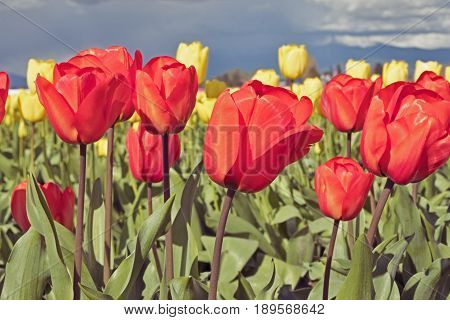 Red and yellow tulips are blossoming in the fields during the annual Skagit Valley tulip festival in Washington State.