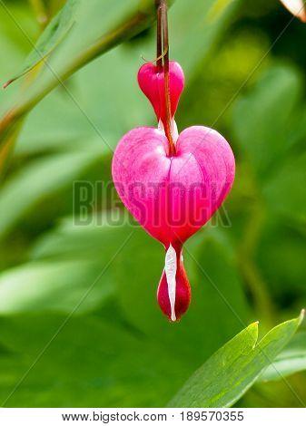 Spring Flowers Series, Bleeding Heart Flower, Dicentra Spectabilis