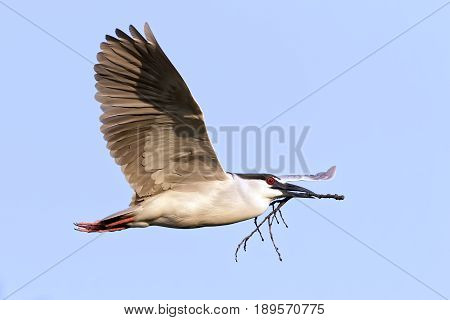 A Black-crowned Night Heron (Nycticorax nycticrax) flying with a twig in its beak for nest building. Lancaster County Pennsylvania USA.