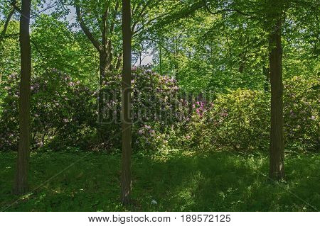 On the photo you can see the azaleas bushes. It is spring, branches of shrubs are covered with lilac flowers. Bushes grow in the park. It is sunny day.