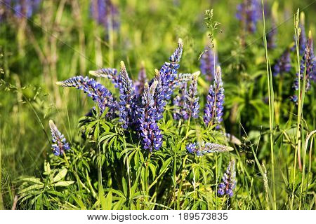 Lupinus, Lupin, Lupine Field With Blue Flowers