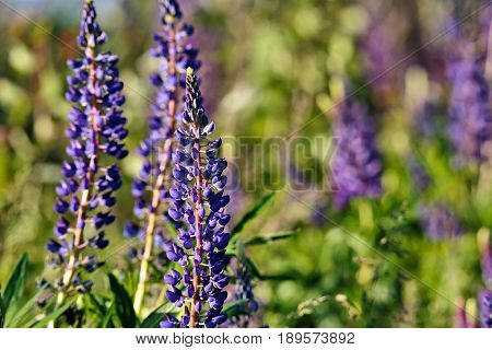 Lupine Field With Pink Purple And Blue Flowers.