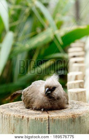 Mousebird Sitting On A Log