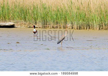 Purple Heron Close Up.po River Lagoon