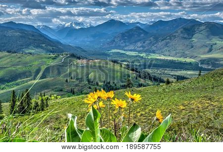 Arnica in alpine meadows with mountain view. Patterson Mountain. North Cascades National Park. Winthrop. Washington. United States.