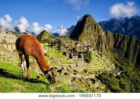 Llama in front of Machu Picchu near Cusco Peru. Machu Picchu is a Peruvian Historical Sanctuary.