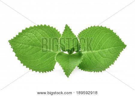 Green Leaves (Country BorageIndian BorageColeus amboinicus Lour( Plectranthus amboinicus (Lour.)) isolate on white background.