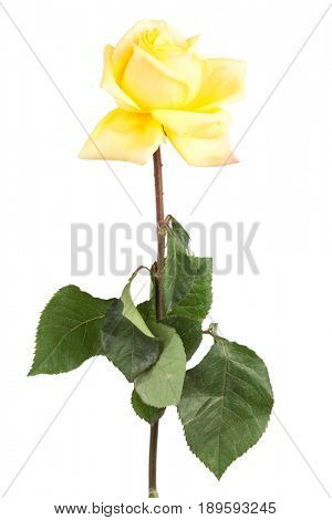 faded yellow roses on a white background