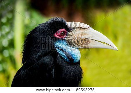 Hornbill tropical Old World bird in forest