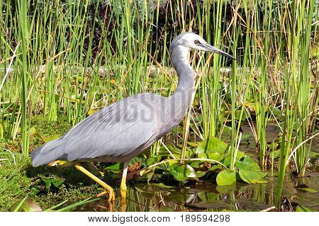 Grey gray Heron waterbird water bird searching for minnows to eat in a pond