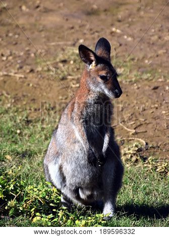 Closeup of Eastern Grey Kangaroo (Macropus giganteus) at Potato Point NSW Australia