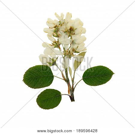Pressed and dried flower sorbus aria or rowan rotundifolia. Isolated on white background. For use in scrapbooking pressed floristry (oshibana) or herbarium.
