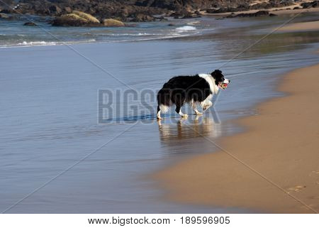Black and white dog with red ball in its mouth on the beach.