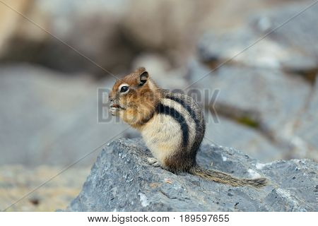 Chipmunk in Banff national park in Canada.
