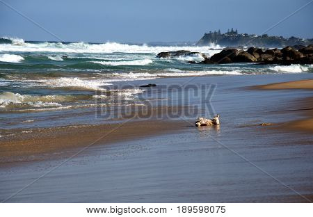 Small dog playing on the beach. Happy dog wet after swimming run with water splashes along sea surf. Actions training games with family pets and popular dog breeds on summer vacation