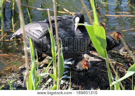 Adult Eurasian coot (Fulica atra) with chicks at nest