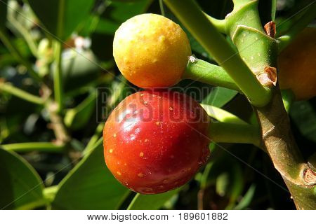 Ficus Brachypoda Desert Fig Australian bush tucker native wild fruit