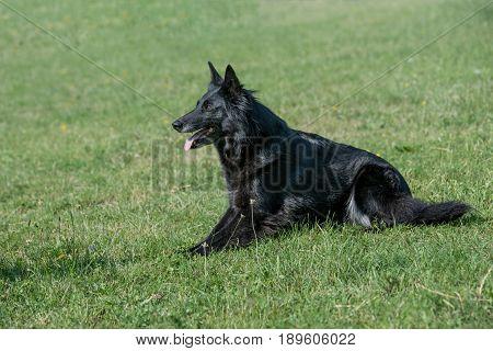 Belgian Shepherd dog lying down outdoors in summer