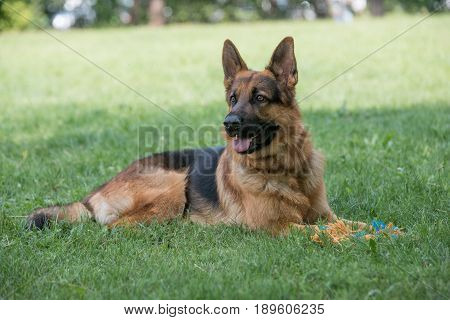 German Shepherd sitting on the green grass. Selective focus on the dog