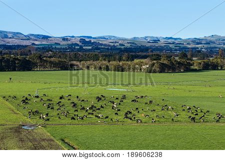 Dairy farming in New Zealand showing how many cows are in a paddock.