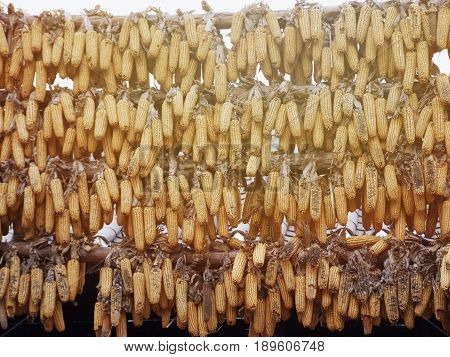 Agriculture concept : A lot of ripe dried corn cobs hanging on bamboo bar in the autumn sun