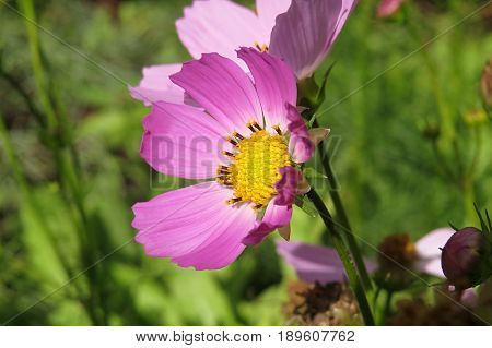 Close-up macro of pink Cosmos flowers growing and blooming in garden