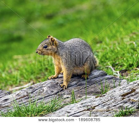 Western Gray Squirrel Sciurus Griseus Lake Coeur d' Alene Idaho. Western gray squirrel was discovered by Lewis & Clark