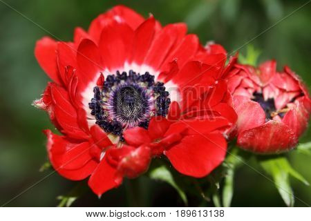 Anemone flower are in colors are red, blue, purple, white and pink