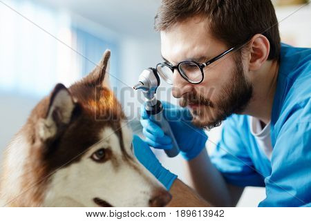 Doctor checking ears of husky with special medical device