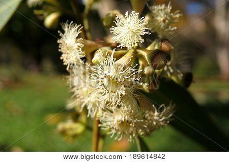 White native Australian gum nut tree Eucalyptus blossom flower in bloom
