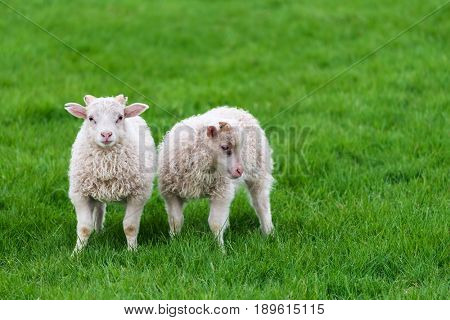 Two white sheep on a background of juicy green grass. Pasture in Iceland