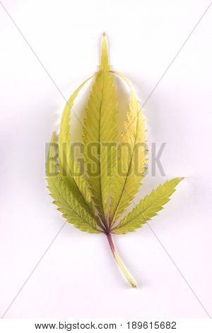 Single marijuana (cannabis sativa) leaf isolated over white background