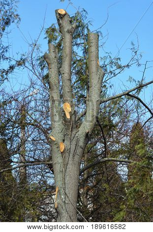 Tree pruning. Cutting tree branches in spring.