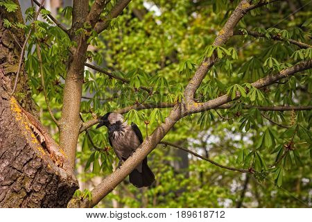 A crow takes a look at a hole in the tree. Maybe she's looking for food or maybe it's a storage of some kind.