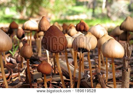 Mass of brown toadstools mushrooms growing in damp soil and shade