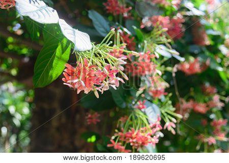 Thai small pink flowers blossom Quisqualis Indica flower plant Chinese honeysuckle Rangoon Creeper or Combretum indicum shallow focus poster