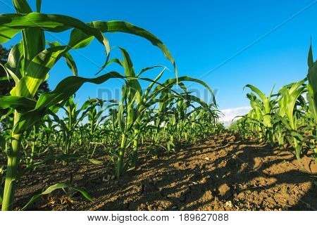 Agricultural corn maize crop field low angle
