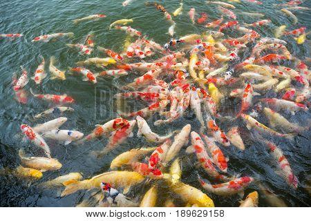 Feeding Koi fish in the pool