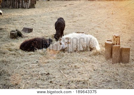 Sheep and goat by the trough. Toning