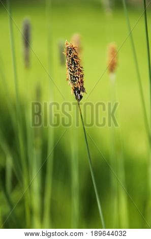 close photo of blooming timothy grass with seeds