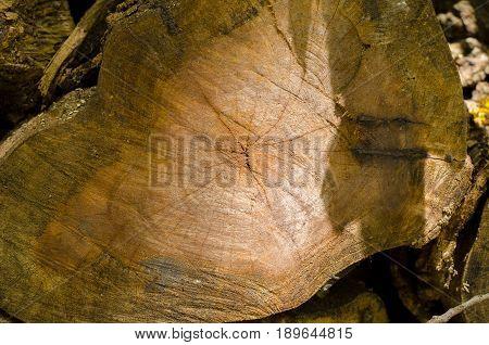 Tree cut band year tree Inside the wood