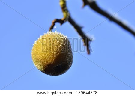 Pear Hanging On A Twig In The Blue Sky