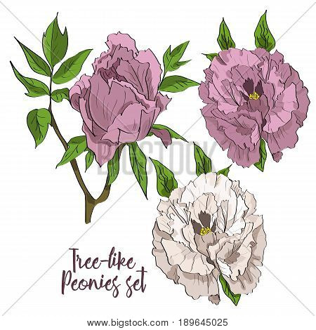 Vector Set Of Hand Drawn White And Rosy Peonies In A Sketch Style.