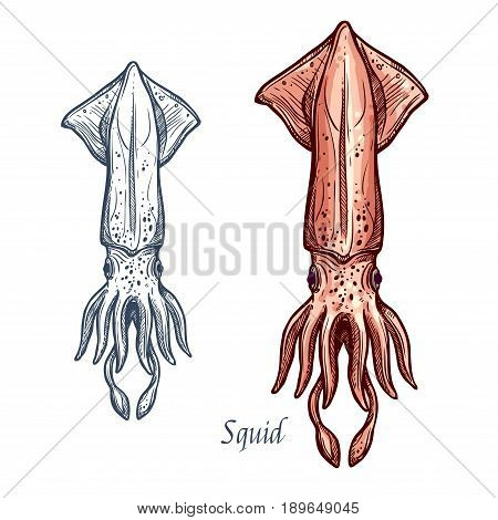 Squid sketch vector icon of ocean calamary cuttlefish or cephalopod species. Isolated fauna and zoology symbol or emblem for fishing club or fishery seafood market