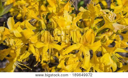 Blooming beautiful Yellow rhododendrons in the garden. Macro