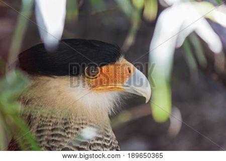 closeup of a Northern crested caracara (Caracara cheriway)