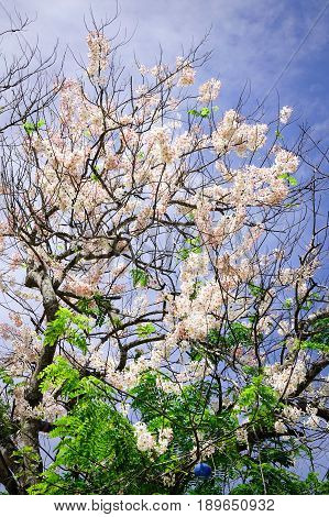 Cherry Blossom Under Blue Sky In Spring Time