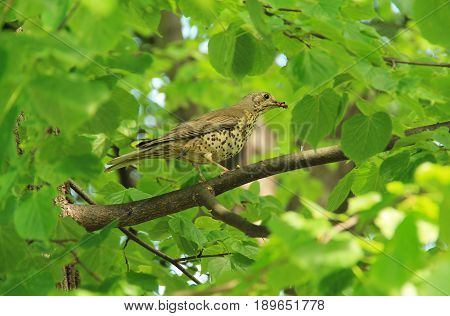 song thrush (Turdus philomelos) with some insects in its beak sitting on the branch of a tree with green leaves