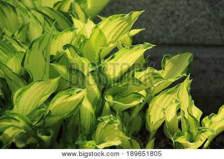 nice green leaves of Hosta plant in contrast with dark background